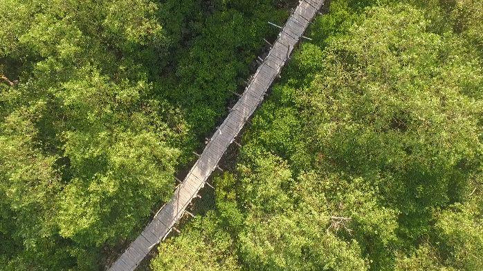 Cầu tre đi xuyên qua rừng sú, rừng ngập mặn